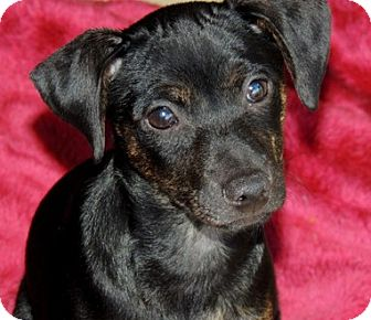 Miniature Pinscher Mix Puppy for adoption in La Habra Heights, California - Sadie