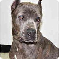 Adopt A Pet :: Saphira - Port Washington, NY