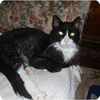 Adopt A Pet :: Figaro - Hamburg, NY