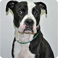 Adopt A Pet :: Bowser - Port Washington, NY