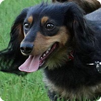 Adopt A Pet :: HADDIE - Portland, OR