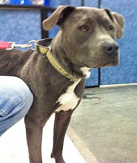 Pit Bull Terrier Mix Dog for adoption in Midlothian, Virginia - Beratta