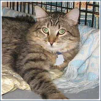 Domestic Longhair Cat for adoption in Midway City, California - Sean