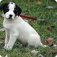 Adopt A Pet :: Niklas - Windham, NH