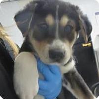 Adopt A Pet :: Puppy Litter - Lincolnton, NC