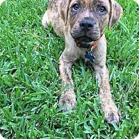 Adopt A Pet :: Ryder - Houston, TX
