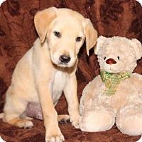 Adopt A Pet :: Bingly - Spring Valley, NY