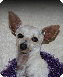 Chihuahua/Chinese Crested Mix Dog for adoption in Lodi, California - Cami