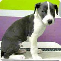 Adopt A Pet :: Radar-Adoption Pending - Boulder, CO