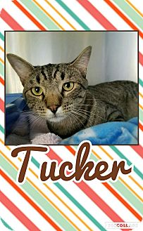Domestic Shorthair Kitten for adoption in Edwards AFB, California - Tucker