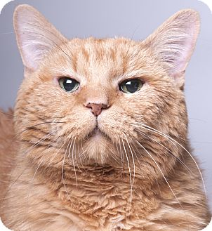 Domestic Mediumhair Cat for adoption in Chicago, Illinois - Tiger Lily