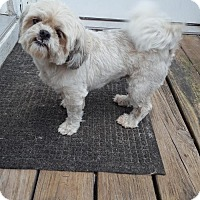 Shih Tzu Mix Dog for adoption in Conway, South Carolina - Lilly