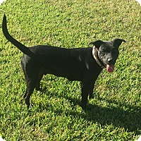 Labrador Retriever/American Staffordshire Terrier Mix Dog for adoption in North Vancouver, British Columbia - Sealy