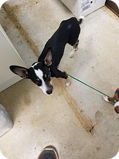 Chihuahua Dog for adoption in New Braunfels, Texas - Padme