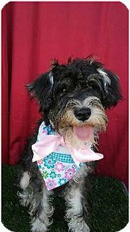 Schnauzer (Standard) Mix Puppy for adoption in Irvine, California - STELLA
