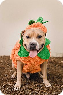 Pit Bull Terrier Dog for adoption in Redondo Beach, California - BUBBA-URGENT!