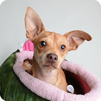 Chihuahua/Dachshund Mix Dog for adoption in Wilmington, Delaware - Heinz *MY FEE IS REDUCED*