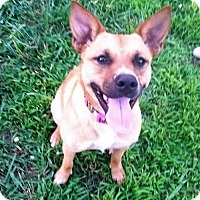 Australian Cattle Dog/Terrier (Unknown Type, Medium) Mix Dog for adoption in Trenton, New Jersey - Riley Benz