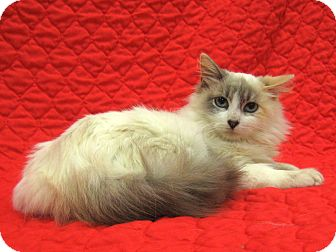 Siamese Cat for adoption in Redwood Falls, Minnesota - Aria