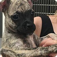 Adopt A Pet :: Hershel - Phoenix, AZ
