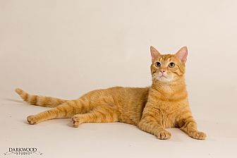 Domestic Shorthair Cat for adoption in St. Louis, Missouri - Archduke Pancakes
