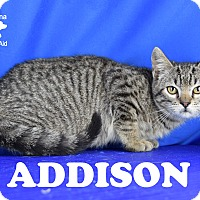 Adopt A Pet :: Addison - Carencro, LA