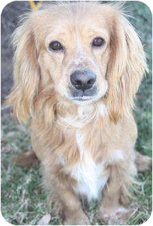 Cocker Spaniel Dog for adoption in Sugarland, Texas - Rufus