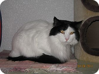 Domestic Longhair Cat for adoption in Colorado Springs, Colorado - Oreo