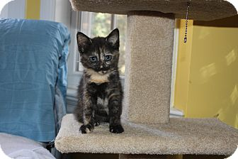 Domestic Shorthair Cat for adoption in Richmond, Virginia - Creamy & Dreamy