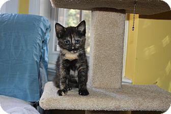 Domestic Shorthair Cat for adoption in Richmond, Virginia - Creamy & Dreamy