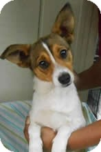 Jack Russell Terrier Mix Dog for adoption in Avon, New York - Jack