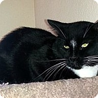 Domestic Shorthair Cat for adoption in Gilbert, Arizona - Hoss