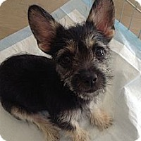 Adopt A Pet :: Khloe - North Hollywood, CA