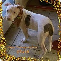 Adopt A Pet :: Olivia - San Jose, CA