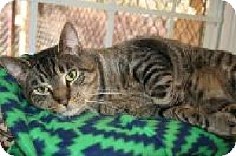 Domestic Shorthair Cat for adoption in Manchester, Connecticut - Higgins