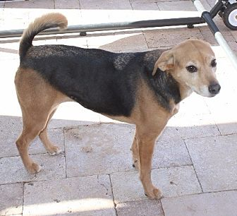 Beagle Mix Dog for adoption in Chandler, Arizona - BAGEL