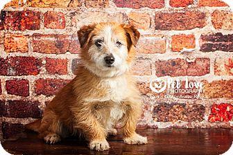 Corgi/Cairn Terrier Mix Dog for adoption in Cincinnati, Ohio - Badger