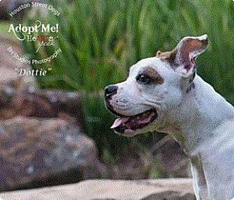 Boxer/Boston Terrier Mix Dog for adoption in Vancouver, Texas - Dottie