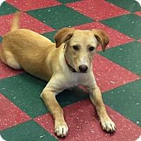 Adopt A Pet :: Olivia - Manchester, CT