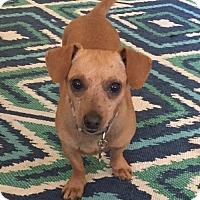 Dachshund/Chihuahua Mix Dog for adoption in Alpharetta, Georgia - Decker