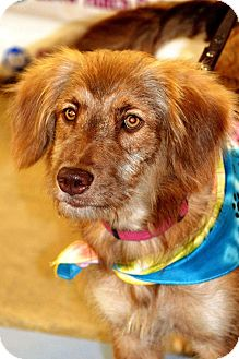 Australian Shepherd/Tibetan Terrier Mix Dog for adoption in Albemarle, North Carolina - Luna