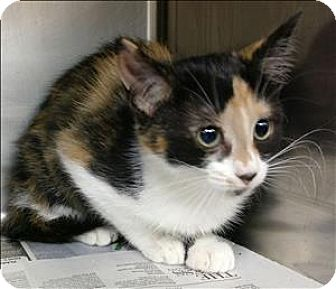 Domestic Shorthair Kitten for adoption in Atlantic City, New Jersey - Maggie