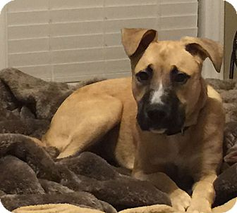 Shepherd (Unknown Type) Mix Puppy for adoption in Richmond, Virginia - Hazel