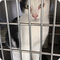 Domestic Shorthair Kitten for adoption in Oakdale, California - Mikey