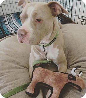 Staffordshire Bull Terrier Dog for adoption in Seattle, Washington - Emmy - Precious Soul!