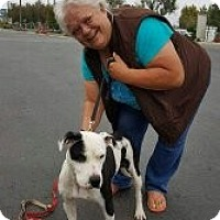 American Pit Bull Terrier Mix Dog for adoption in Grants Pass, Oregon - Sky