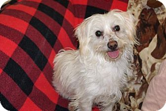 Coton de Tulear/Maltese Mix Dog for adoption in Agoura Hills, California - 'ZEA'
