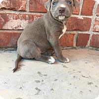 English Pointer Mix Puppy for adoption in oklahoma city, Oklahoma - Muggle