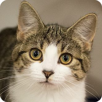 Domestic Shorthair Kitten for adoption in Toronto, Ontario - Josie