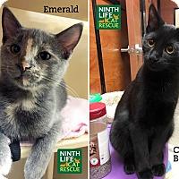 Adopt A Pet :: Cuddle Bear & Emerald - Oakville, ON